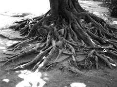 Überirdische Wurzeln eines Baumes